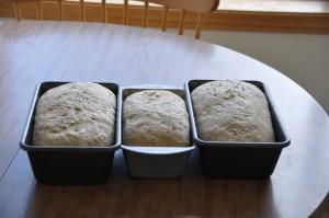 Pumpernickel Bread I After Second Rising